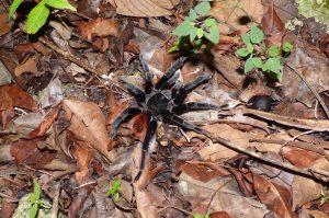 Why did the tarantula cross the road...
